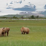 Alaskan Brown Bears (Ursus middendorffi) in a grassy field. Katmai National Park. Alaska