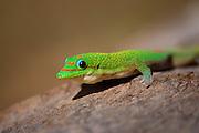 Close-up of a Giant Madagascan day gecko (Phelsuma madagascariensis grandis).åç