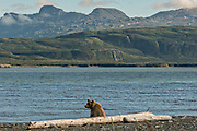 A brown bear adult boar sits by a driftwood log along the Cook Inlet at the McNeil River State Game Sanctuary on the Kenai Peninsula, Alaska. The remote site is accessed only with a special permit and is the world's largest seasonal population of brown bears in their natural environment.