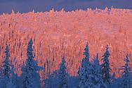 Virgin boreal forest, Muddus N.P, Laponia World Heritage Area, Lapland, Sweden.