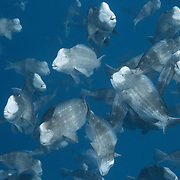 This is a small portion of a mass gathering of thousands of humphead parrotfish (Bolbometopon muricatum) that have come together for spawning. When these fish are ready to spawn, their faces take on the pale coloration depicted here. Of interest, some of the fish that participate in this group spawning activity do not exhibit pale faces. Photographed in Palau.