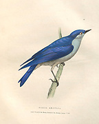 mountain bluebird (Sialia currucoides syn Sialia arctica) color plate of North American birds from Fauna boreali-americana; or, The zoology of the northern parts of British America, containing descriptions of the objects of natural history collected on the late northern land expeditions under command of Capt. Sir John Franklin by Richardson, John, Sir, 1787-1865 Published 1829