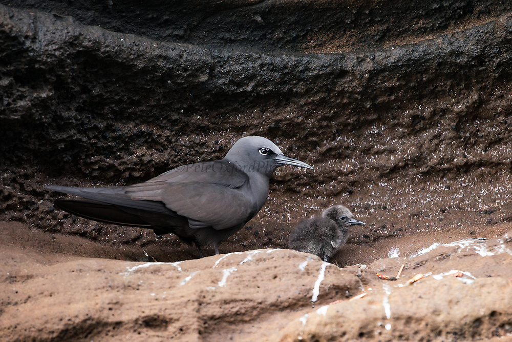 Brown or Common Noddy (Anous stolidus galapagensis) & chick<br /> GALAPAGOS ISLANDS,<br /> ECUADOR.  South America<br /> ENDEMIC SUBSPECIES