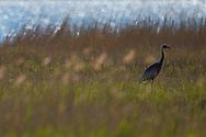 White-naped Crane, Grus vipio,walking on ground besides water Inner Mongolia, China