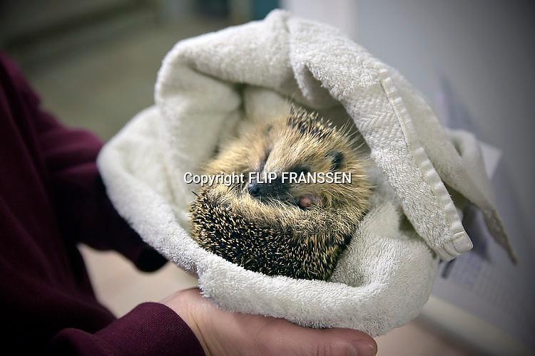 Nederland, Nijmegen, 19-12-2017Dierenopvang bij de dierenambulance. een jong, zwak egeltje slaapt in een handdoek.Foto: Flip Franssen