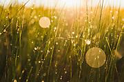 """Sunrise shines through green crowd of dew covered stems of harestails and sedges, protected landscape area """"Ādaži"""", Latvia Ⓒ Davis Ulands   davisulands.com"""