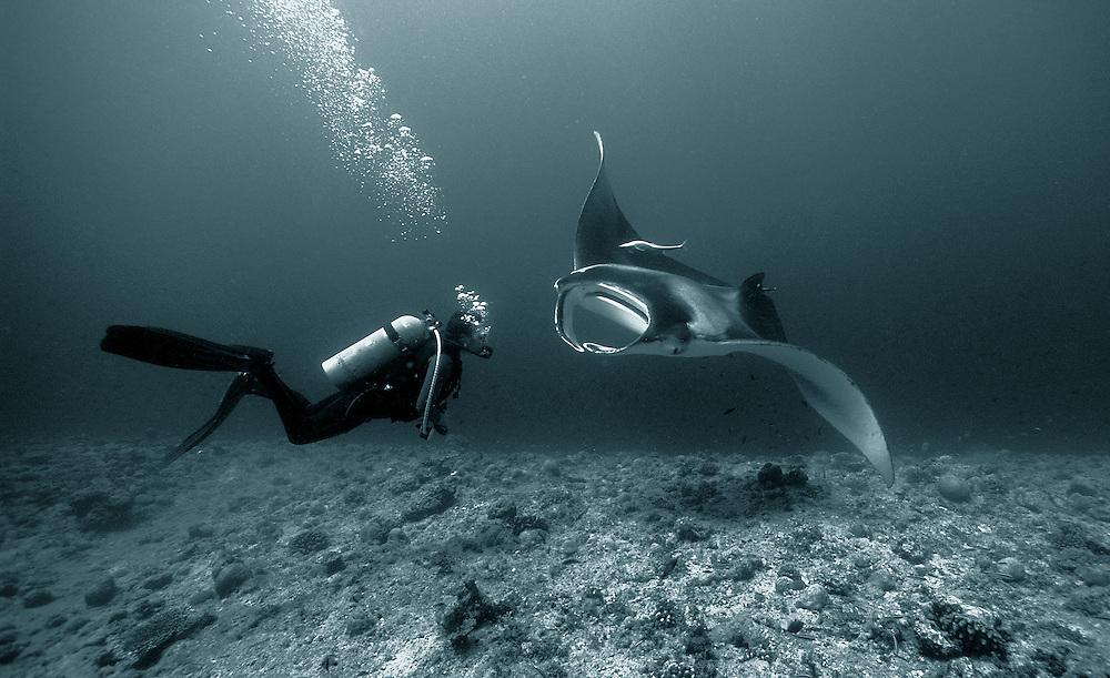 Giant manta ray (Manta birostris) in close proximity to a diver