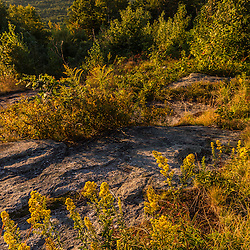 Goldenrod blooms on the summit of Mount Agamenticus in York, Maine.