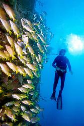 scuba diver and schoolmasters, .Lutjanus apodus, Benwood, .Key Largo, Florida Keys NMS, .Florida (Atlantic)