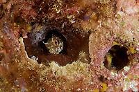 Bluntspine Blenny (Acanthemblemaria exilispinus)<br /><br />Coiba Island<br />Coiba National Park<br />Panama<br /><br />Mona Lisa dive site