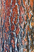 Ice on pine tree bark, San Bernardino National Forest, California