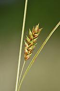 Distant Sedge - Carex distans