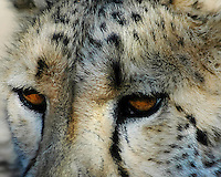 Cheetah up close and personal with amazing eyes. Okonjima, Namibia. African wildlife and nature photography, wall art and fine art prints.