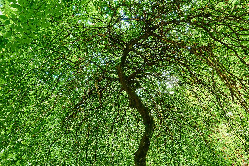 France, Marne (51), Parc Naturel Régional de la Montagne de Reims, Verzy, les Faux-de-Verzy, hêtres tortueux // France, Champagne, twisted beech tree at Les Faux de Verzy forest
