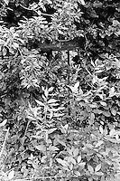 Kroatia 2012-06.<br /> Bak busker og trær kan man skimte et vindu med jerngitter på en gammel ruin i skogen på Lopud i Kroatia.<br /> Foto: Svein Ove Ekornesvåg
