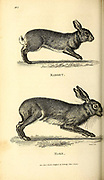 Rabbet and Hare from General zoology, or, Systematic natural history Vol 2 Mammalia, by Shaw, George, 1751-1813; Stephens, James Francis, 1792-1853; Heath, Charles, 1785-1848, engraver; Griffith, Mrs., engraver; Chappelow. Copperplate Printed in London in 1801 by G. Kearsley