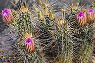 Strawberry hedgehog cactus flowering at Organ Pipe National Monument, Arizona, USA
