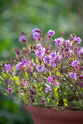 Silene pendula Sibella Lilac