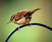 Carolina Wren. Image taken with a Fuji X-T3 camera and 200 mm f/2 OIS lens with 1.4x teleconverter.