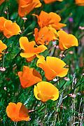 California Poppies (Eschscholtzia californica), Antelope Valley, California