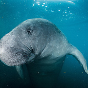 An adult male manatee in a rehabilitation tank at the Manatee Conservation Center in Puerto Rico.
