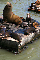 """The California Sea Lion of the northern Pacific Ocean. Their numbers are abundant and the population continues to expand at a rate of approximately 5.0% annually. They are  intelligent, can adapt to man made environments, and even adult males can be easily trained. Because of this, California sea lions are commonly used for entertainment in circuses, zoos and marine parks and are sometimes used by the US Navy for certain military operations. This is the classic circus """"seal"""" despite the fact that it is not a true seal."""
