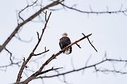Bald eagle in bare tree