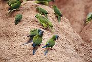 Blue-headed Macaws & Parrots on Clay Lick<br />Propyrrhura couloni<br />Serjali Clay Lick, Bocamishagua River<br />Amazon Rain Forest. PERU.  South America<br />Range: e Peru, n Bolivia to w Brazil<br />RARE MACAWS