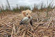 Keith Crowley's Yellow Lab, Rosie, retrieves a canvasback drake.
