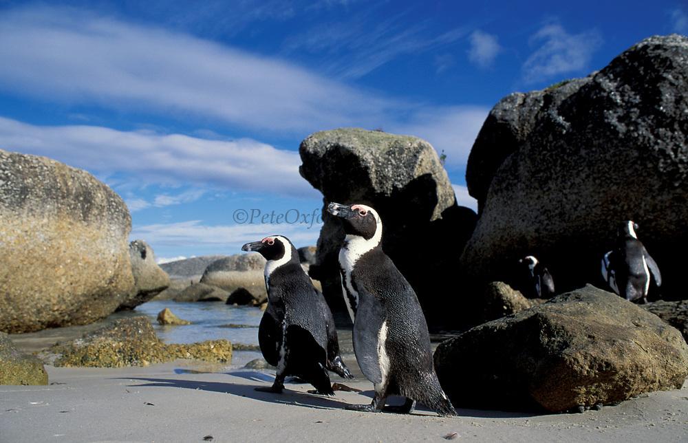 Black footed penguins /Jackass {Spheniscus demersus}, Boulders Beach, Simons Town, South Africa