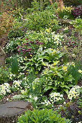 Primula vulgaris and Erythronium 'Pagoda' growing with hellebores and daffodils in John Massey's dell garden