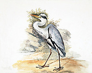 The grey heron (Ardea cinerea) is a long-legged predatory wading bird of the heron family, Ardeidae, native throughout temperate Europe and Asia and also parts of Africa. A bird of wetland areas, it can be seen around lakes, rivers, ponds, marshes and on the sea coast. It feeds mostly on aquatic creatures which it catches after standing stationary beside or in the water or stalking its prey through the shallows. 18th century watercolor painting by Elizabeth Gwillim. Lady Elizabeth Symonds Gwillim (21 April 1763 – 21 December 1807) was an artist married to Sir Henry Gwillim, Puisne Judge at the Madras high court until 1808. Lady Gwillim painted a series of about 200 watercolours of Indian birds. Produced about 20 years before John James Audubon, her work has been acclaimed for its accuracy and natural postures as they were drawn from observations of the birds in life. She also painted fishes and flowers.