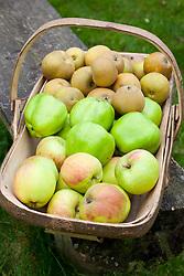 Trug filled with apples. Apple 'Blenheim Orange' ,  'Lord Derby' and 'Egremont Russet'. Malus