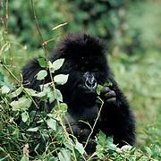 Mountain Gorilla, (Gorilla gorilla beringei) Juveniel foraging. Volcanoes National Park. Rwanda. Africa.