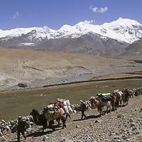 CHINA, Xinjiang. Kyrgiz nomads leads Bactrian camel train for adventure travel trekking group in Pamir Mountains. 7719m Kongur Shan bkg.