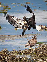 A mature and an immature bald eagle clash just above a Pacific Oyster bed in the Hood Canal at low tide, Puget Sound, Washington state, USA