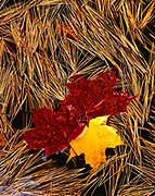 Sugar Maple, Acer saccharum, leaves and White Pine, Pinus strobus, needles floating in sandstone pool near Canyon Falls on the Sturgeon River, Upper Peninsula near Alberta, Michigan.
