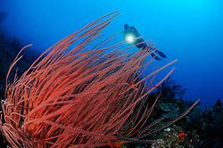 Ctenocella cercidia, Ellisella ceratophyta, Ellisella cercidia, Rote Besengorgonien und Taucher, red whip corals and scuba diver, Bali, Indonesien, Indopazifik, Bali, Indonesia Asien, Indo-Pacific Ocean, Asia luftbild