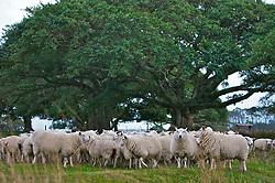 Ovelhas nos campos de Mostardas, no sul do Brasil. Habitada inicialmente por imigrantes vindos da Ilha dos Açores, a cidade de Mostardas ainda cultivam laços dos primeiros imigrantes como a produçao de cobertores de lã. FOTO: Lucas Uebel / Preview.com
