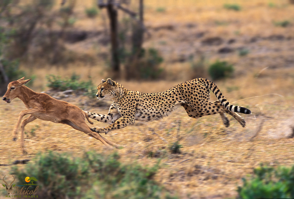 Running Cheetah about to capture topi calf