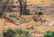 Running Cheetah about to capture topi calf