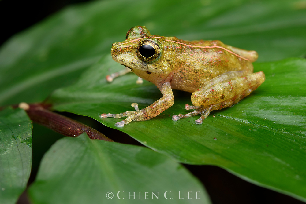 The tiny Obscure Bush Frog (Philautus tectus) is endemic to Borneo where it can be found near small streams and seeps in lowland rainforest. This species has been listed as Vulnerable because it is limited to small scattered populations, many of which have been lost due to land development. Sarawak, Malaysia (Borneo).