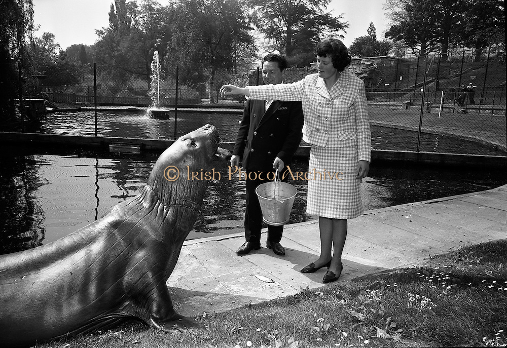 """14/05/1965<br /> 05/14/1965<br /> 14 May 1965<br /> National Seafood Cook 1965, visits the Zoo. Miss Mary Kenny of Donaghmore, Dundalk, the BIM """"National Seafood Cook 1965"""", visited the Zoological Gardens, Dublin and fed the best fish eater in Ireland- an elephant seal which recently arrived from the Falkland Islands."""