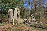 Storm damage in Matley Wood in the New Forest near Lyndhurst, Hampshire, 2014