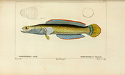 Ophicephalus, from Histoire naturelle des poissons (Natural History of Fish) is a 22-volume treatment of ichthyology published in 1828-1849 by the French savant Georges Cuvier (1769-1832) and his student and successor Achille Valenciennes (1794-1865).