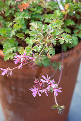 Pelargonium 'Deerwood Lavender Lass'
