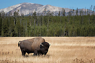 A bull bison stands in Yellowstone's Gibbon Meadows