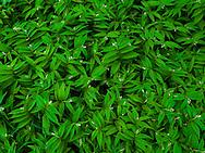 Star Solomon's Seal (Smilacina stellata) forms a carpet in the forest, Cascade Mountain Range, Washington, USA.