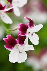 Pelargonium 'Australian Mystery'. Decorative pelargonium