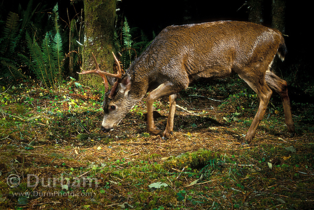 A young buck white-tailed deer (Odocoileus virginanus) checks scent on a game trail in the Tillamook State Forest, Oregon. Fall 2002. Photographed with a camera trap.